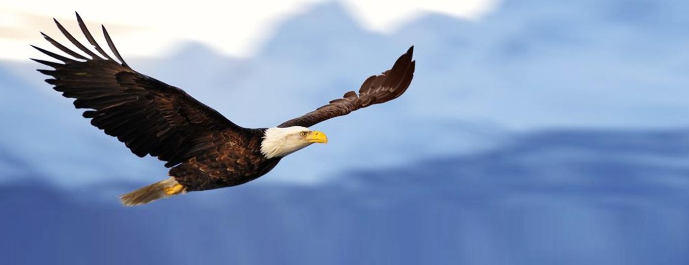 Bald Eagle Soaring In Flight Through Misty Tong Nat Forest Se Alaska Summer Posite Picture Frame